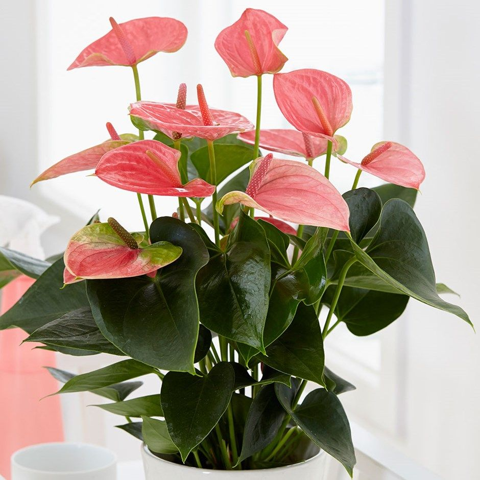 Anthurium Pink Champion Antinkeles Pbr Flamingo Flower Anthurium Plant Lily Plants Flowering House Plants