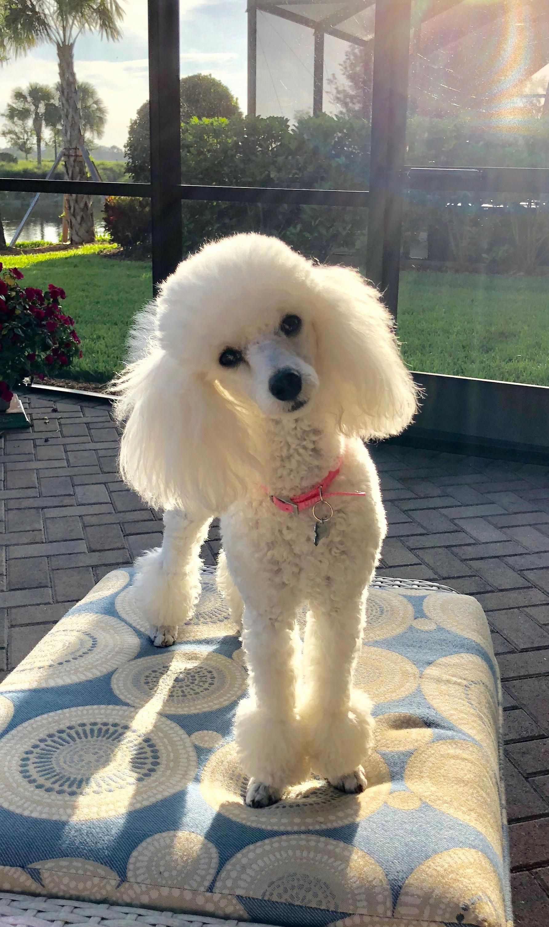 Poodles Are Usually Seen In Films As