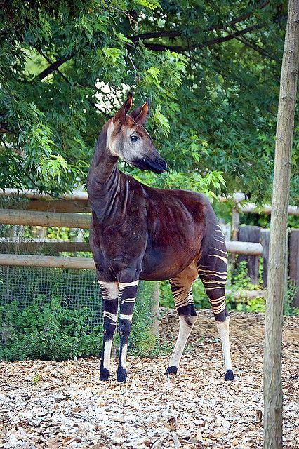 Okapi at London Zoo Unusual animals, Interesting animals