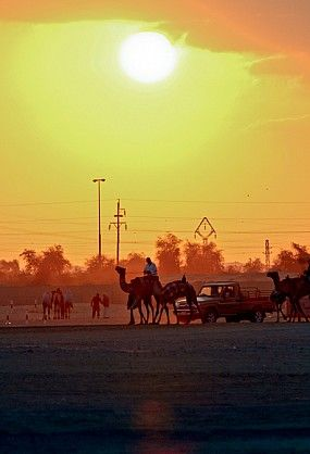 camel race al wathba