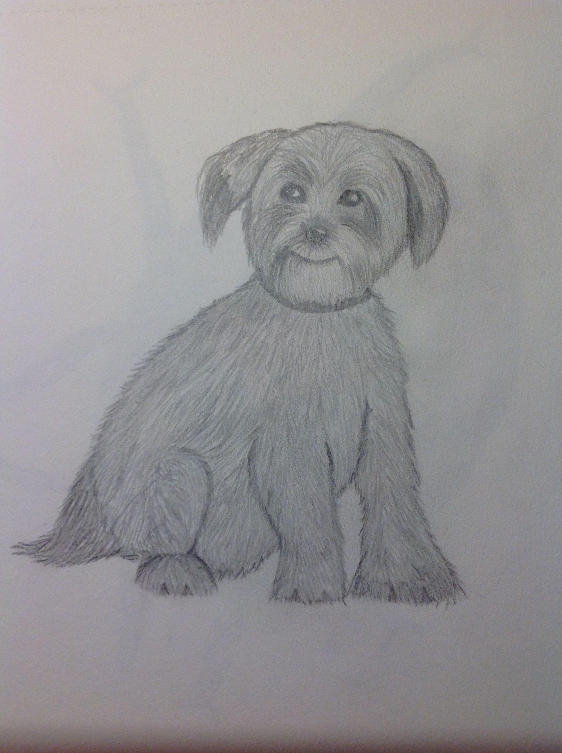 Drawing of a norfolk terrier norfolk terrier pencil