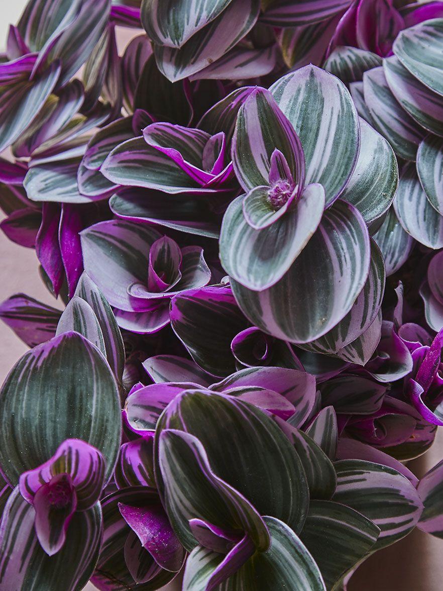 La Misere Tres Simple A Entretenir Pour Une Deco Green Et Coloree Truffaut Decogreen Plantes Philodendron Plante Misere Plante