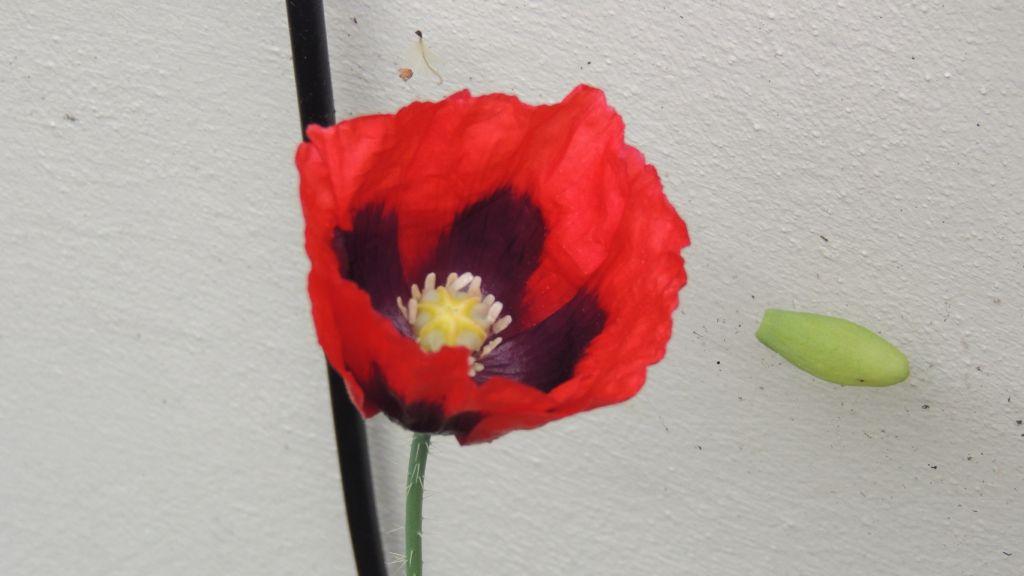 Poppy flower symbolism the most beautiful flower 2018 daily glimpses of an poppy flowers in mightylinksfo