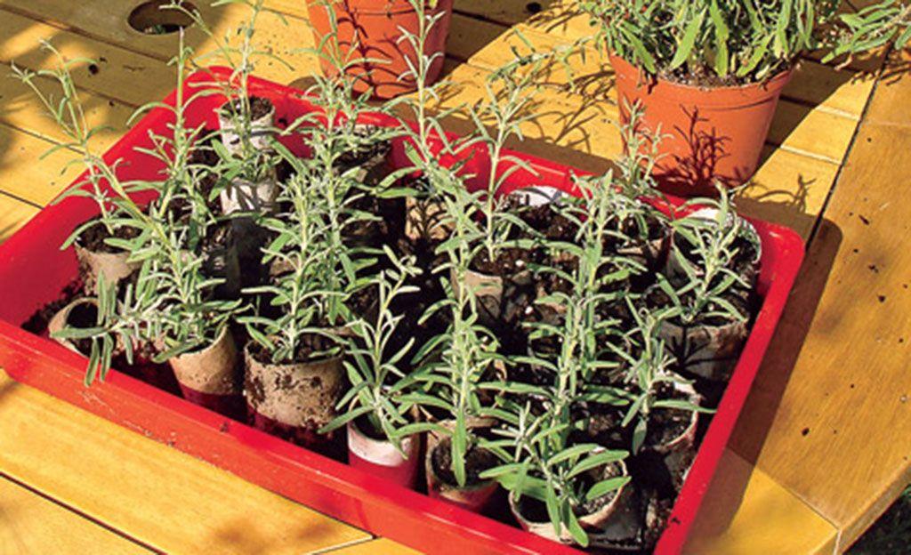 lavendel vermehren pflanze pinterest garten lavendel vermehren und pflanzen. Black Bedroom Furniture Sets. Home Design Ideas