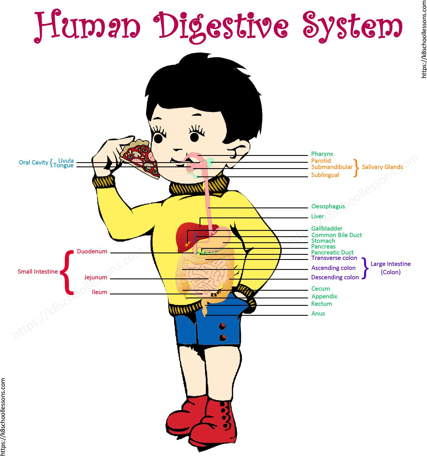 Digestive System Pictures For Kids Human Anatomy Pictures