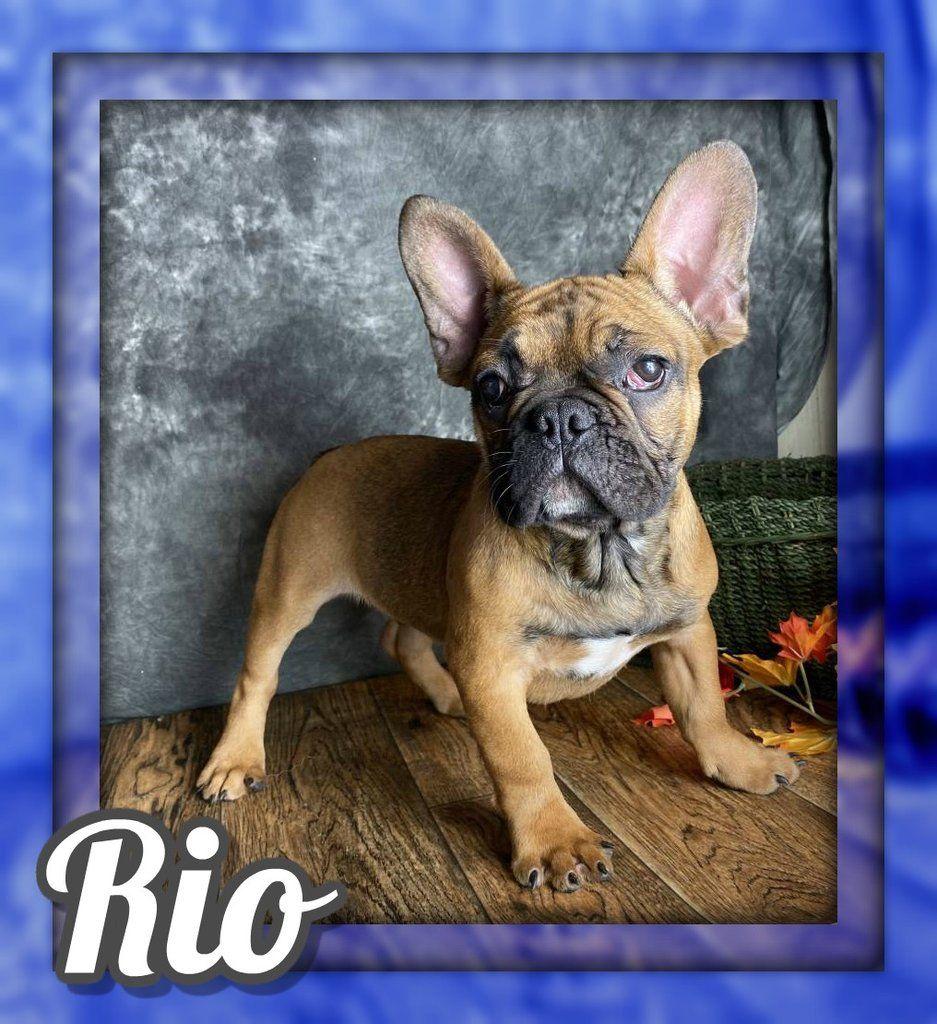 Rio Akc Male French Bulldog 1400 French Bulldog