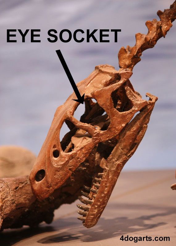 eye socket eye orbit theropod dinosaur skull anatomy 4dogarts.com ...