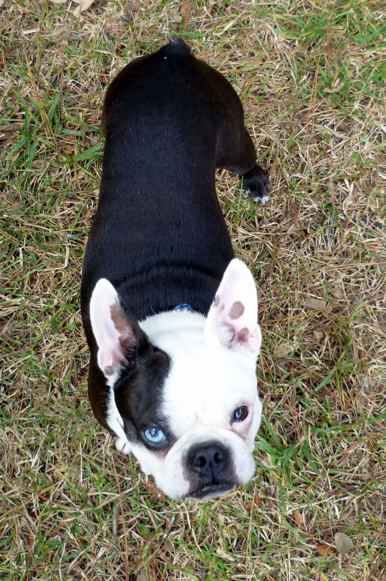 In Puppy Love With Calder So Grateful For Boston Terrier Rescue