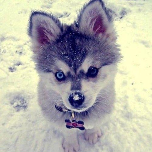 Corgi Husky Mix A Complete Guide To The Cuddliest Breed Ever Cute Animals Alaskan Klee Kai Cute Dogs