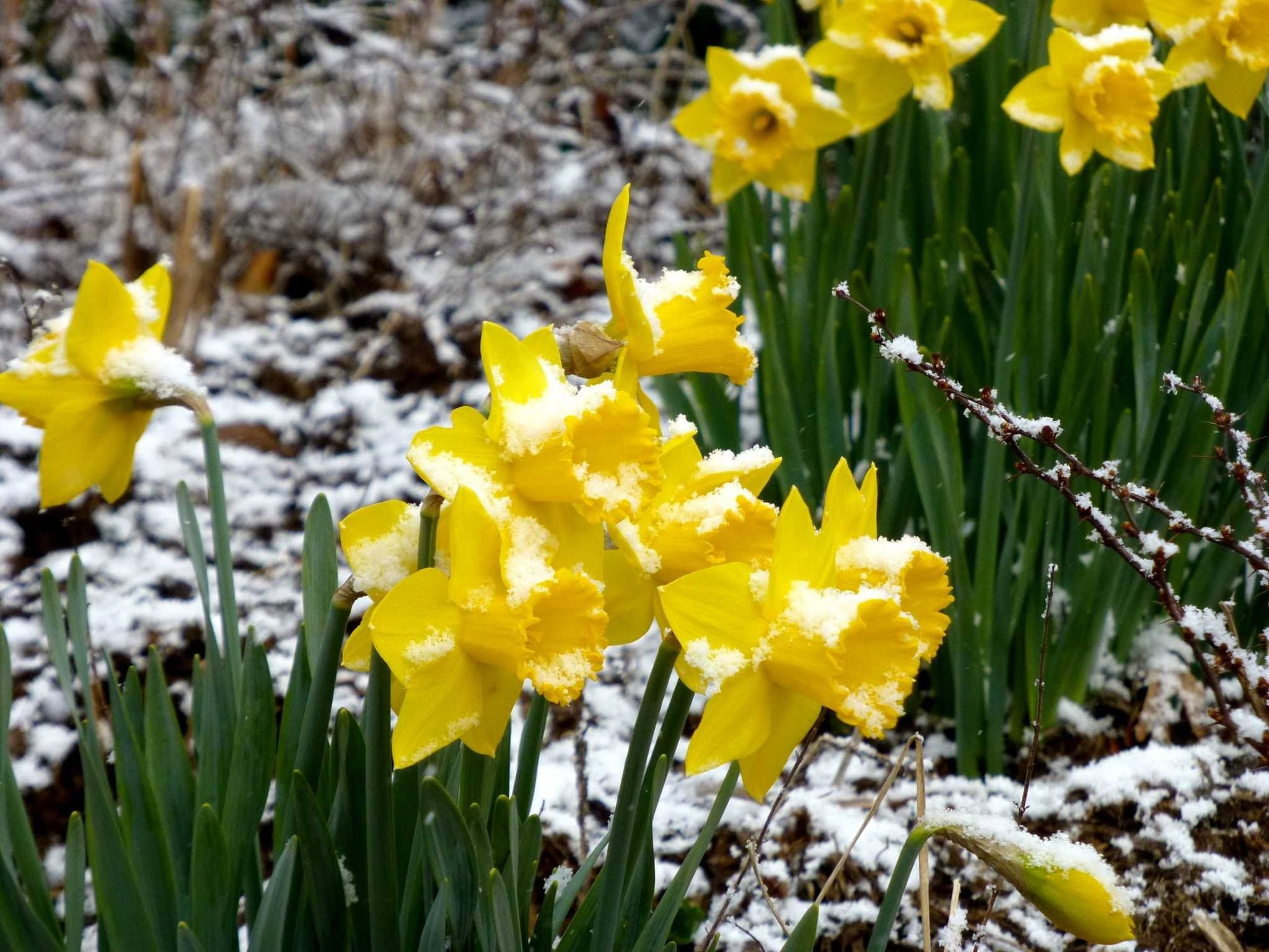 Sunshine Snow Flurries And Spring Bloomsjust Another March Day