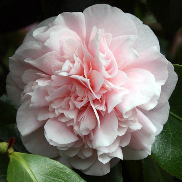 Camellia Japonica Debutante Plants Camellia Fragrant Garden