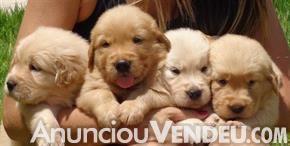 Golden retrieverlindos filhotes de golden!cão dócil, bom companheiro para crianças.Já vacinados.