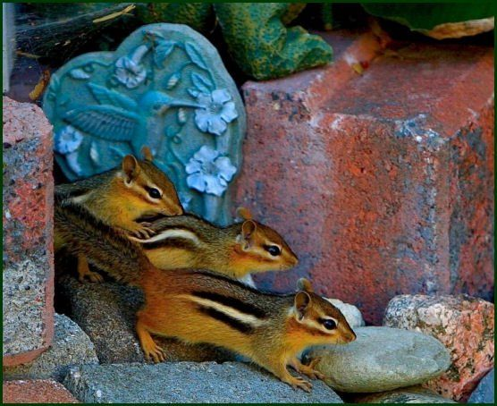 Chipmunks are small, striped squirrels. All species of chipmunks are found in North America, with the exception of the Siberian chipmunk, which is found in Asia