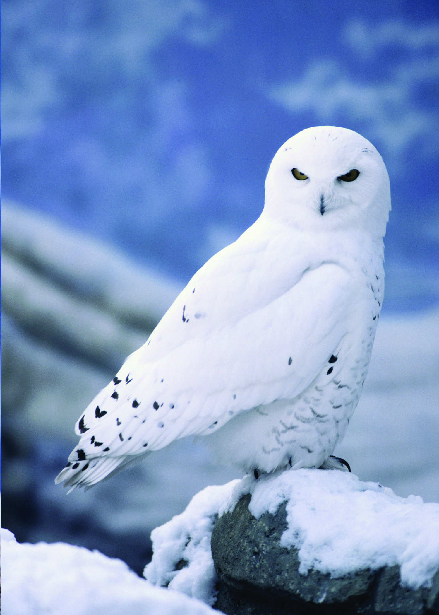 Snowy owls are magnificent birds that depend on threatened