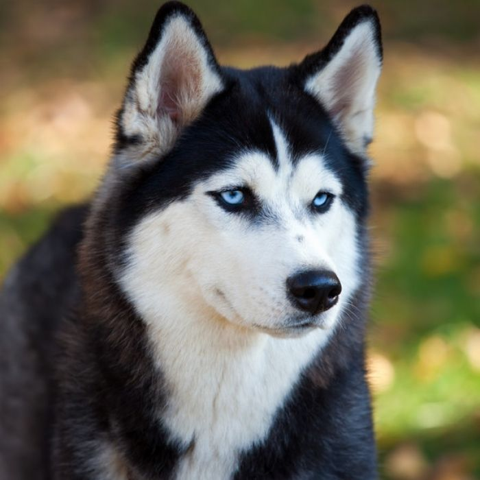 Click To Learn More About The Siberian Husky