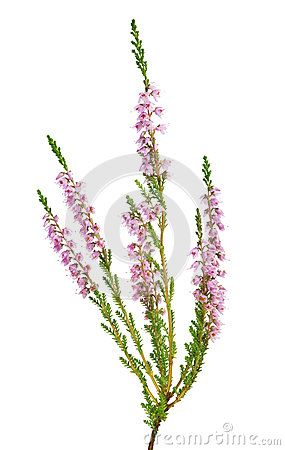 Isolated Light Pink Blossoming Heather Heather Flower Heather Plant Light Pink Flowers