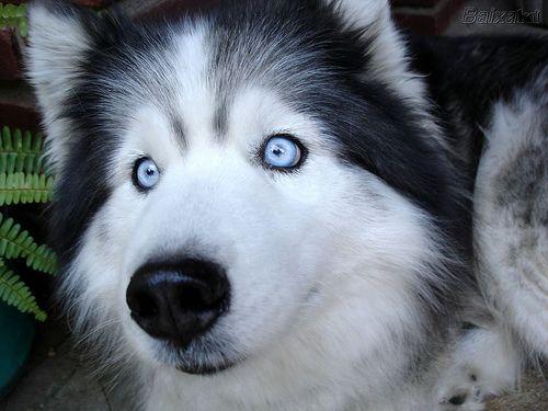 Dog Husky With Blue Eyes Cute Funny Dogs Blue Eyed Dog