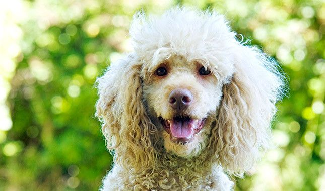 Poodle Breed Information Dog Breeds Best Dog Breeds Friendly