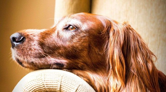 Un chien disparu retrouve ses maîtres, six mois plus tard et à 600 km de son domicile