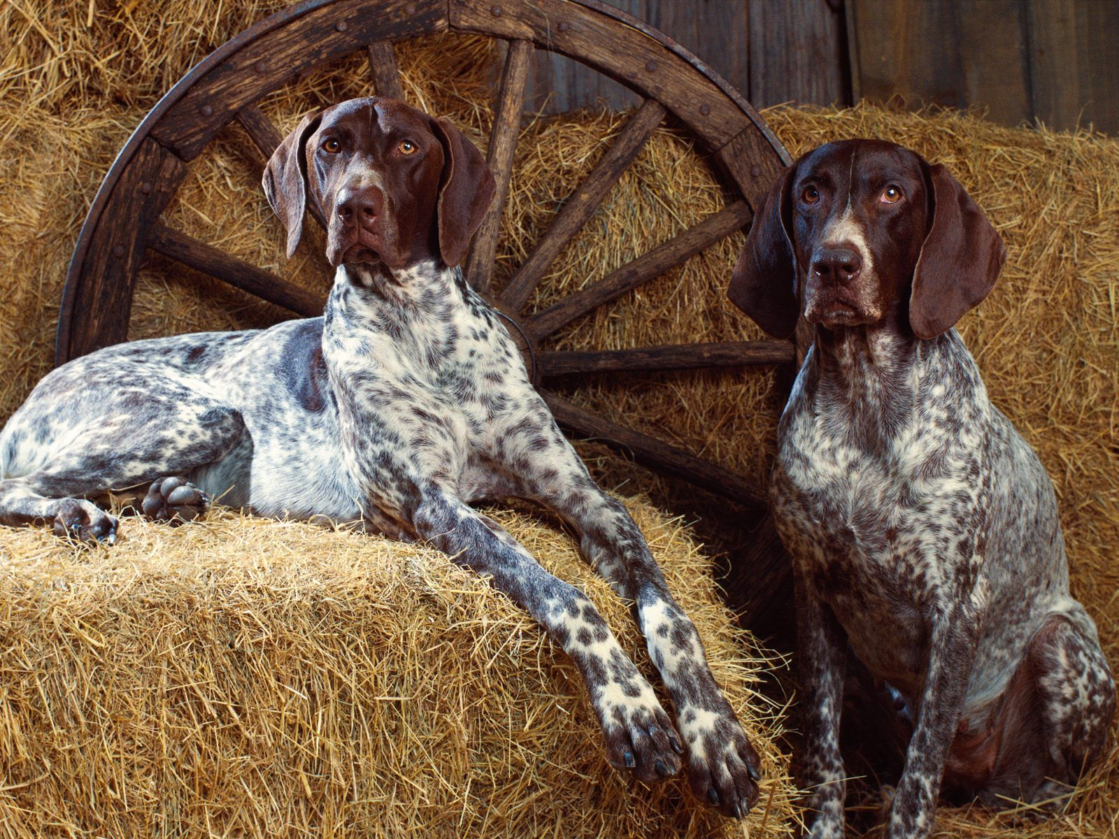 German Short Hair Pointers For Bre And Chad German Shorthaired Pointer Dog Pointer Dog Bluetick Coonhound