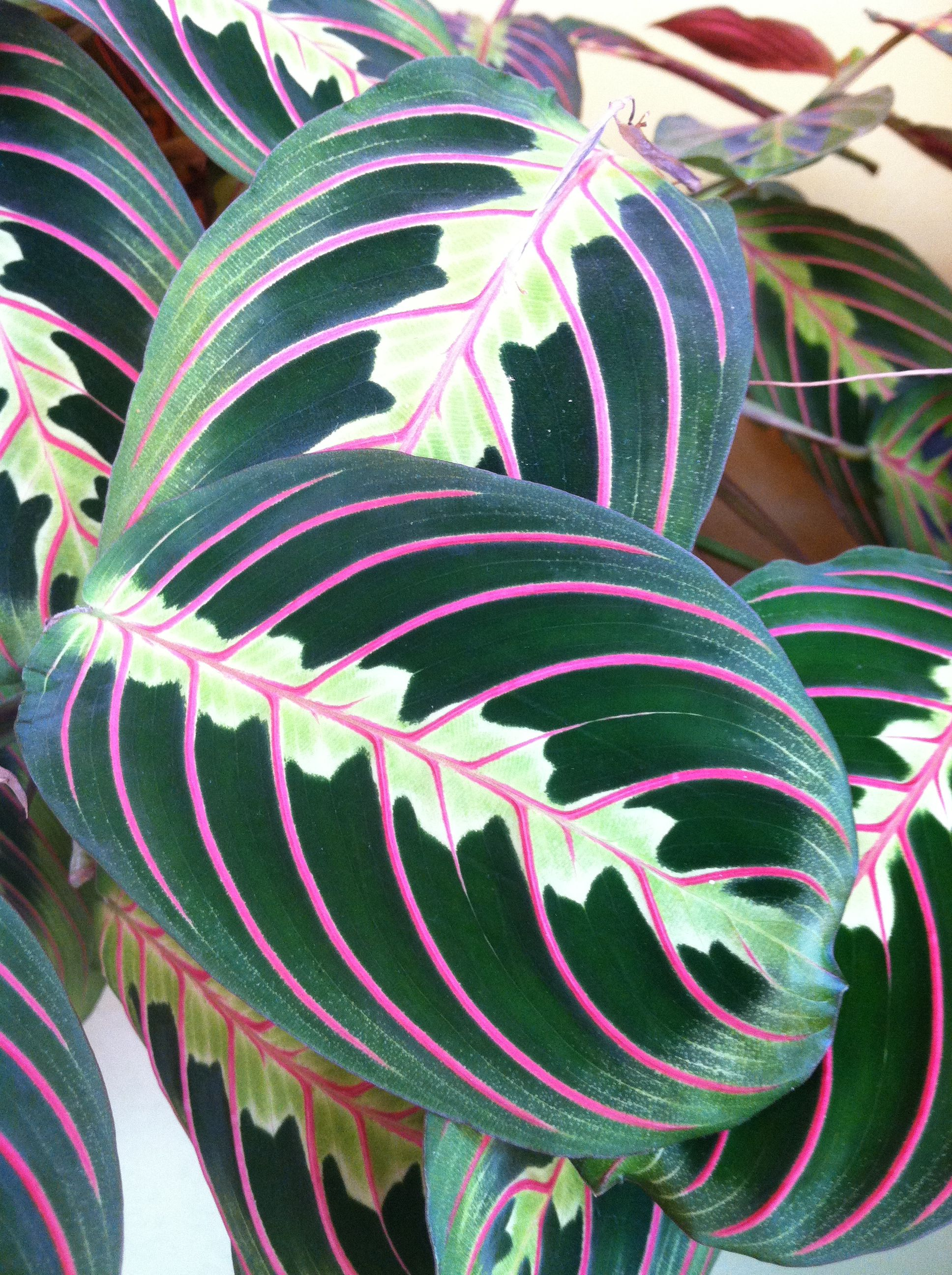Beautiful Red Prayer Plant leaves add bold color to the sun room.