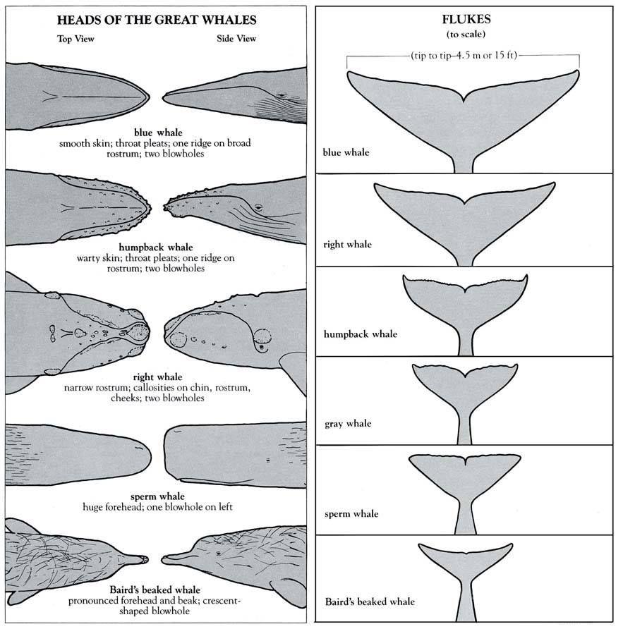 A whale of a tail   Cetología   Pinterest   Tortugas, Biología y Marino