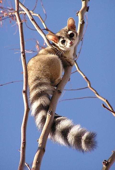 A ringtail cat, a member of the raccoon family common to arid regions of North America, such as California and Texas. #animals