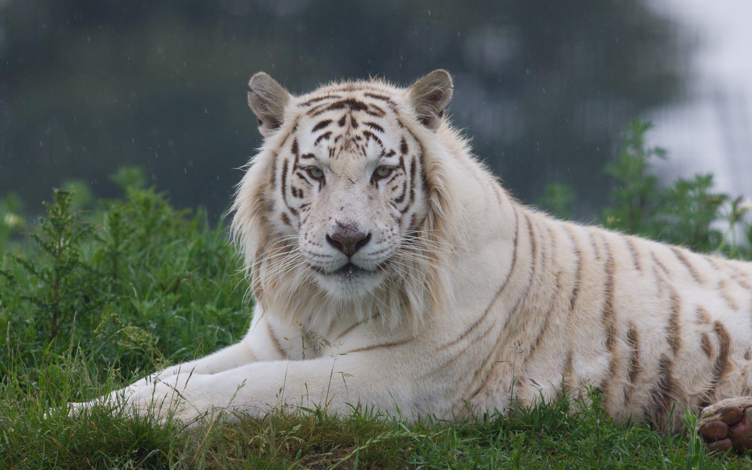 Tigre Blanc Fonds D Ecran Arrieres Plan 2560x1600 Id 529714 Tigre Blanc Fond D Ecran Pour Ordinateur Fond Ecran