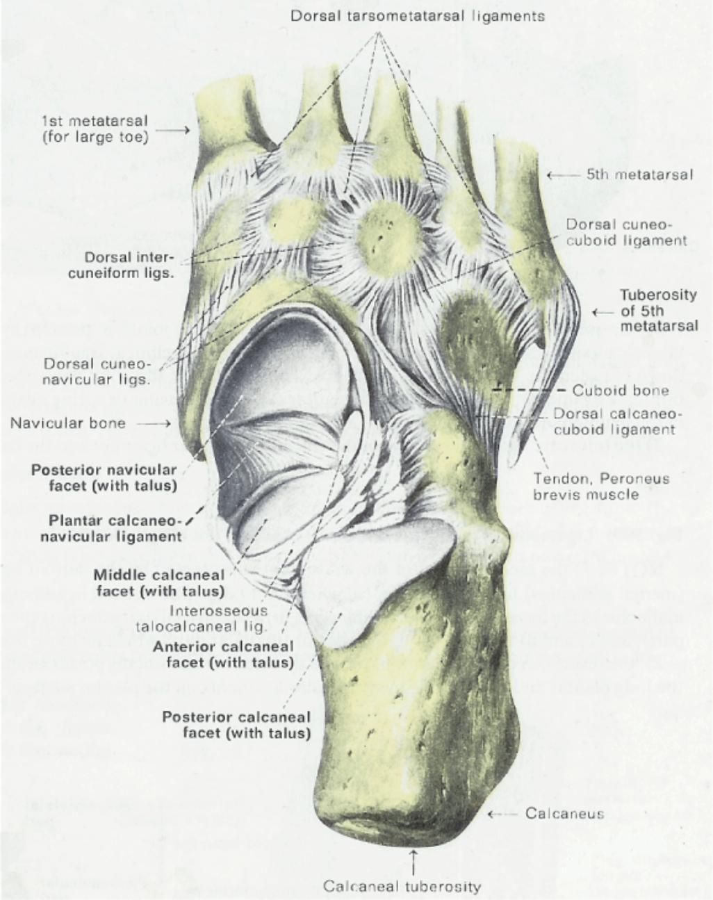 Anatomy & Physiology Illustration | Anatomia | Pinterest | Anatomy