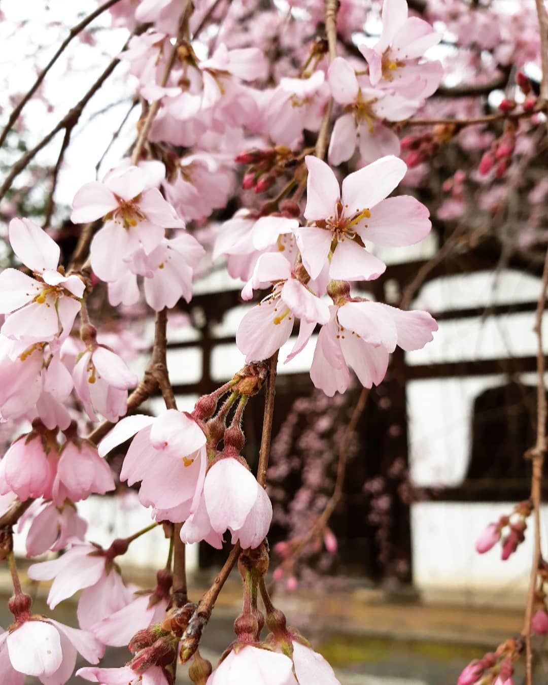 Watch The Best Youtube Videos Online Cherry Blossoms Tree Japan Kyoto Instagood Instatravel Travel Wanderlust G Globetrotting Blossom Insta Travel