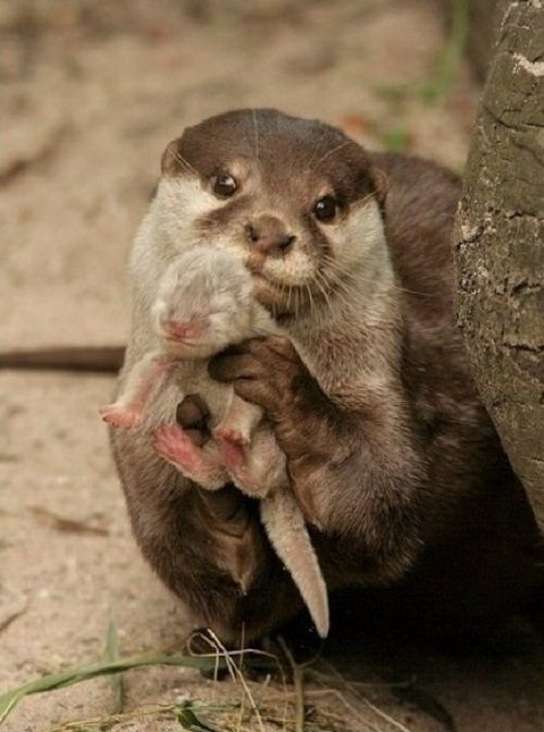 An otter showing you its baby, I love otters