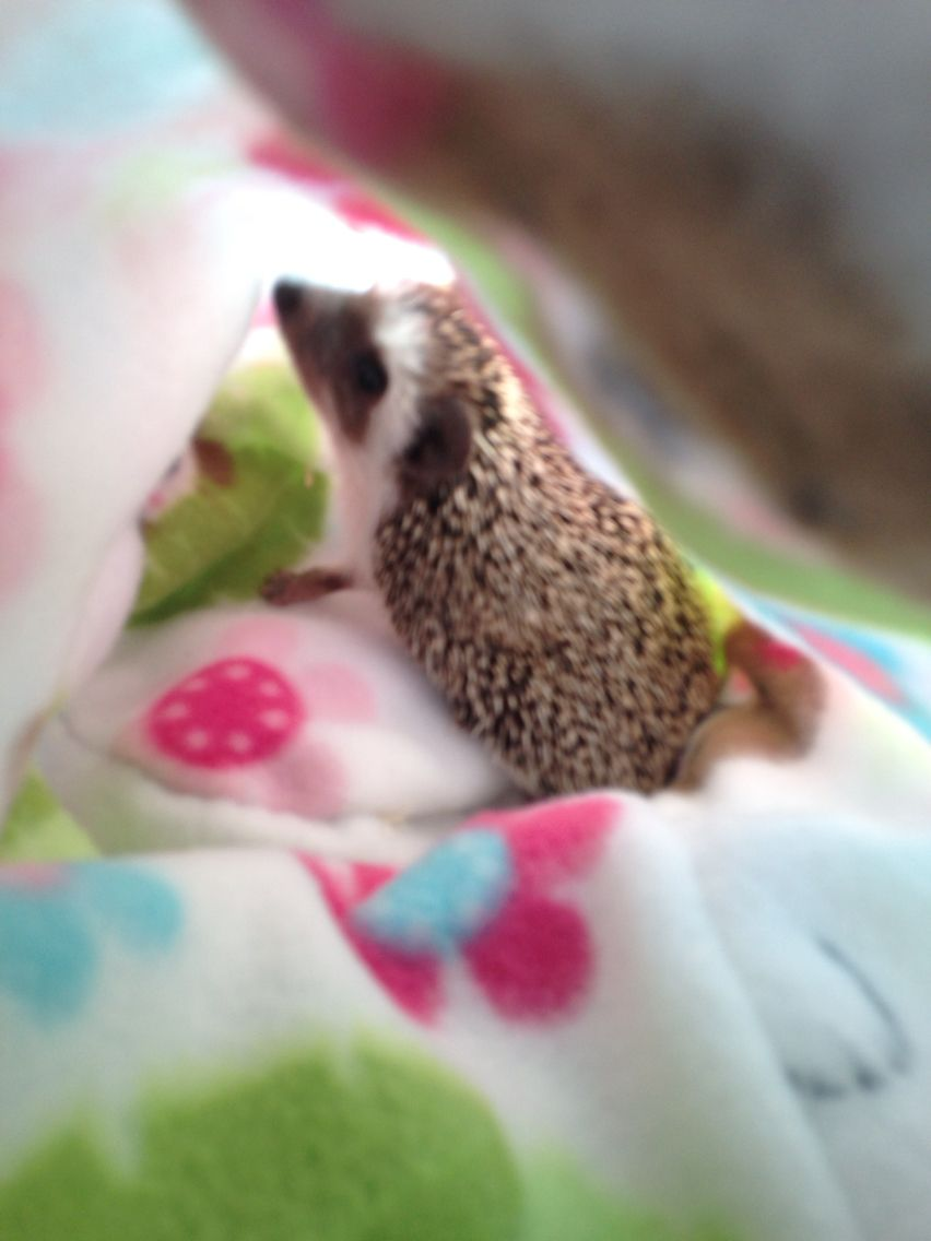 Tessie My New Sweet Little Hedgehog Cute Hedgehog Cute Animals Cute Little Animals
