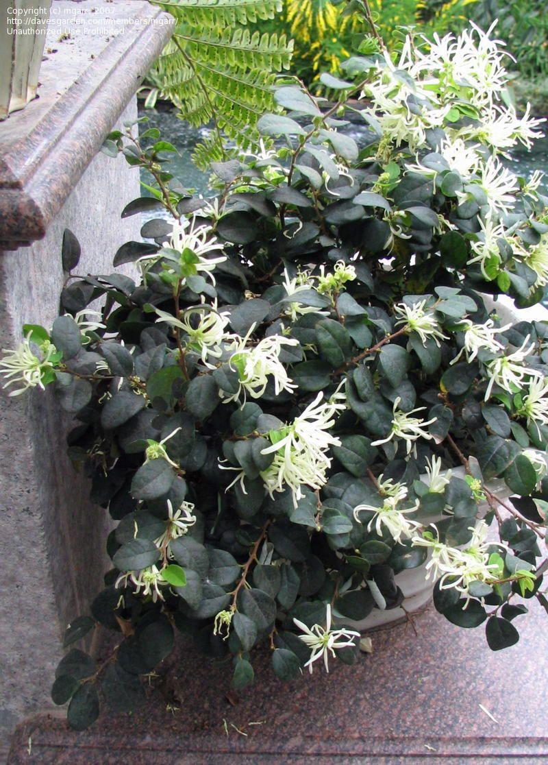 Loropetalum Chinense Fringe Flower Garden Some Favorite