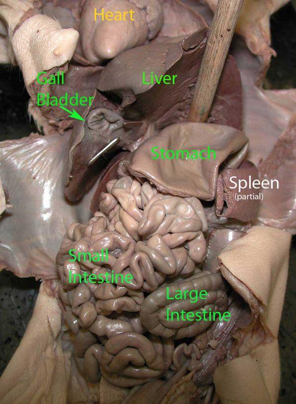 Lower Upper Abdomen Fetal PIg Anatomy Study Notes