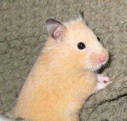 Looking To Adopt A New Pet How About Trying A Nj Local No Kill Shelter Cute Hamsters Pet Rodents Syrian Hamster