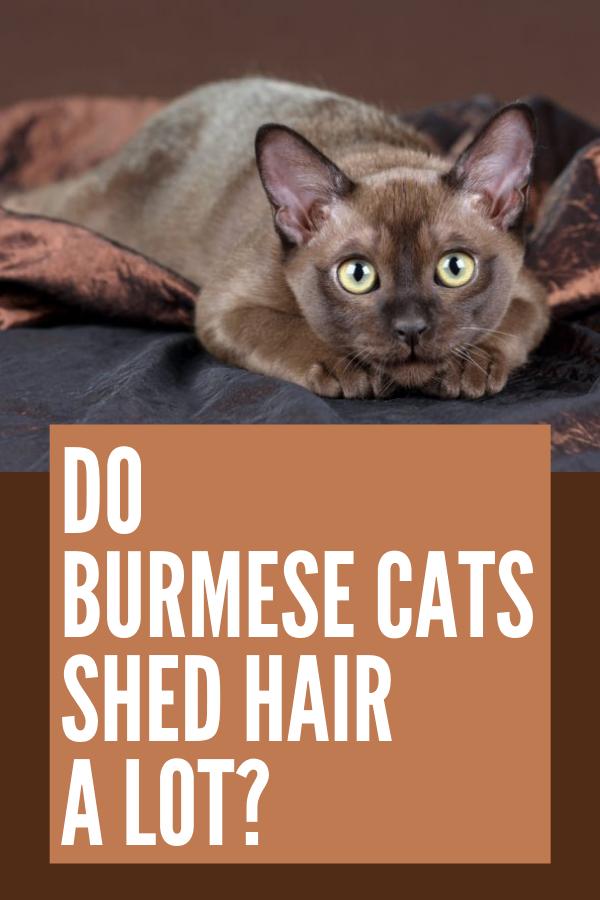 Do Burmese Cats Shed Hair a Lot? [ 2020 ] Burmese cat