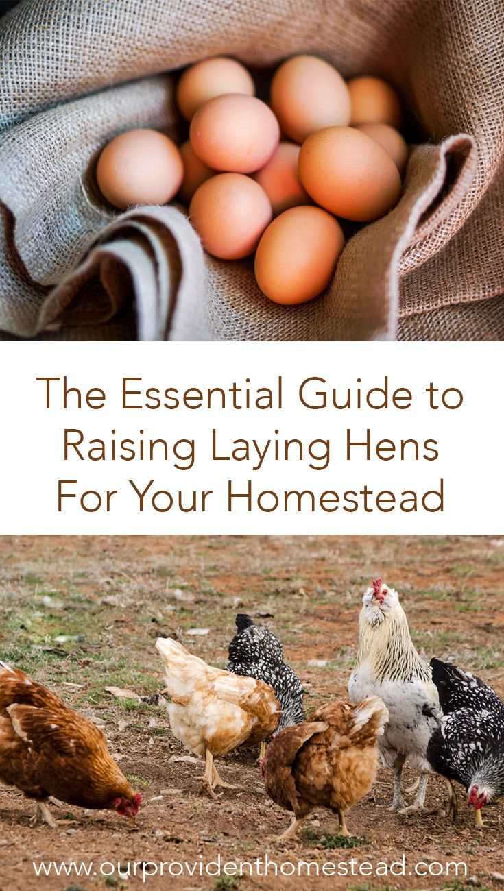 Essential Guide To Raising Laying Hens