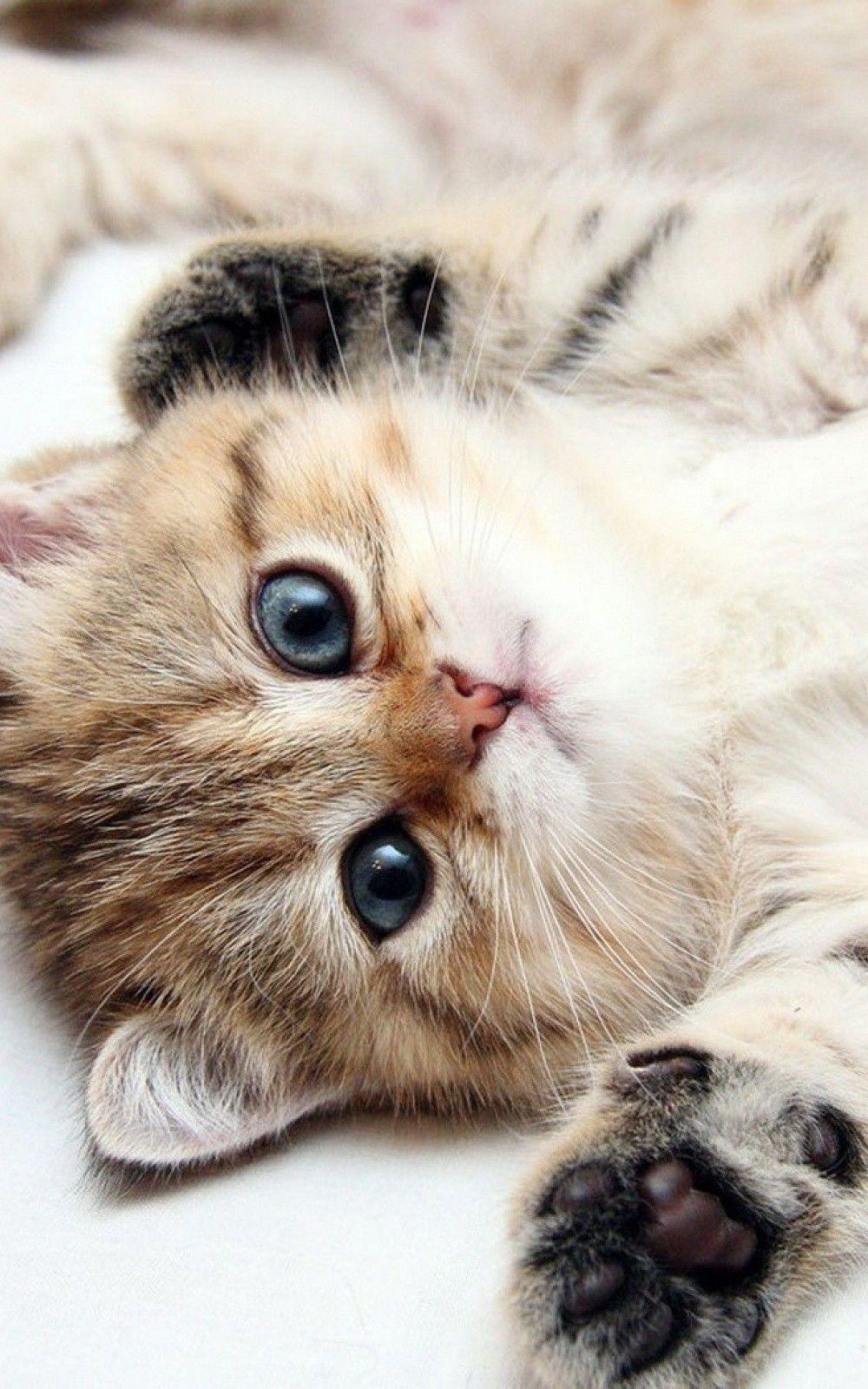 cutest cats - my garden   hd wallpaper iphone, blue eyes and cat
