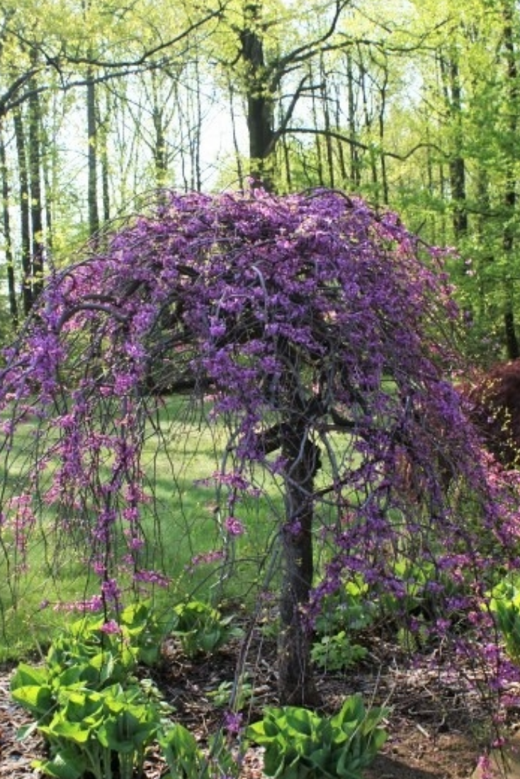 Lavender Twist Weeping Redbud Small Ornamental Trees Garden Trees