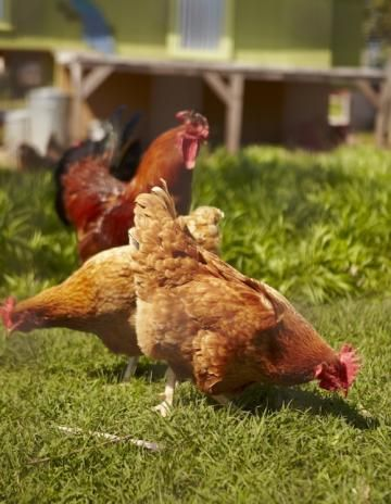 Different types of chicken feed carried locally are mixed