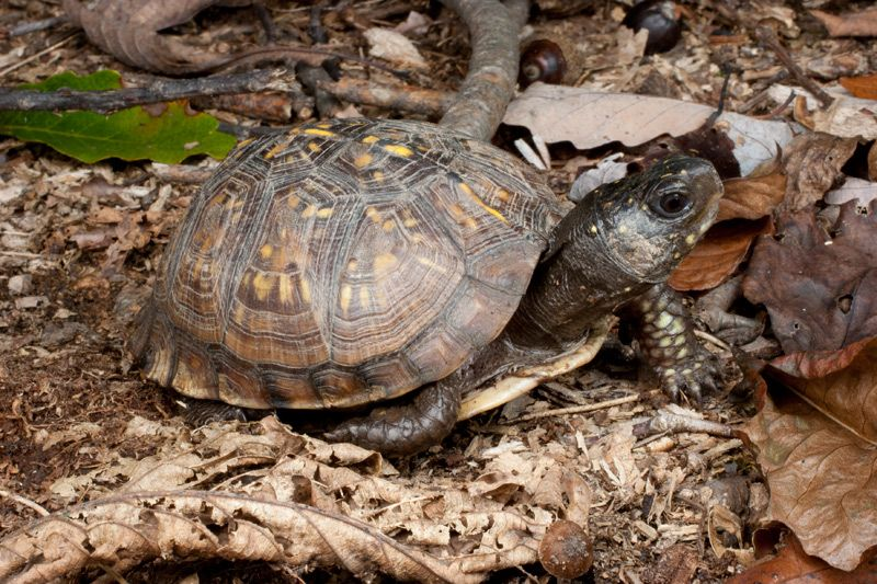 One of our local species, the Eastern Box Turtle - Terrapene carolina carolina