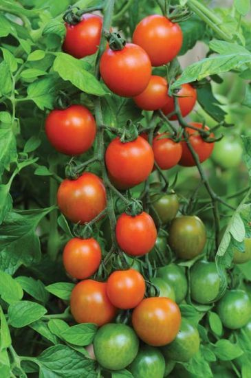 Orange Zinger (Cherry Tomato/untreated) #tomatenzüchten