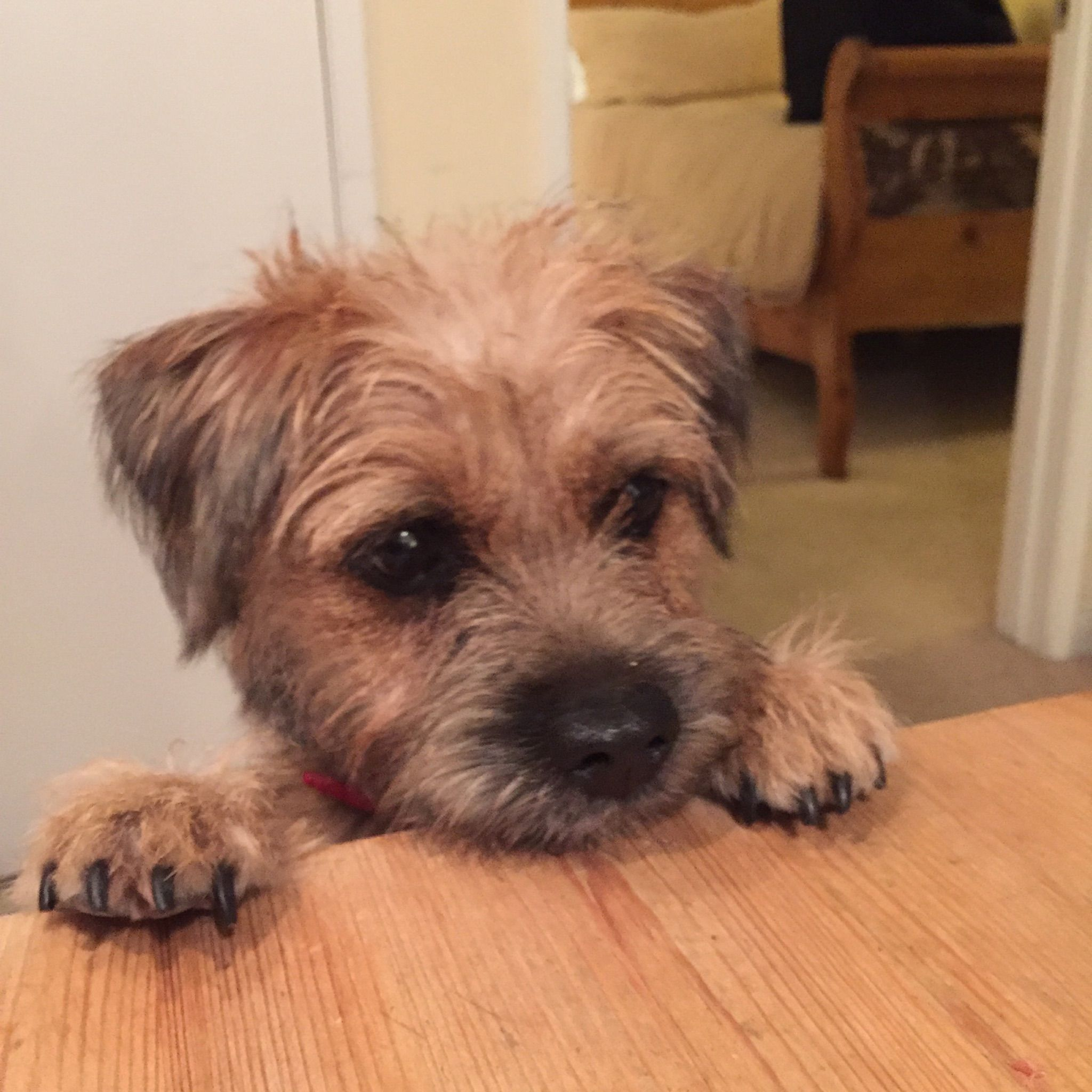 Pin By Chris Merry On Dogs Border Terrier Puppy Border Terrier
