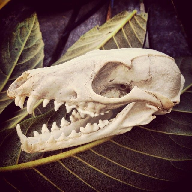 Cleaned And Finished Fox Skull Animal Anatomy Pinterest Fox