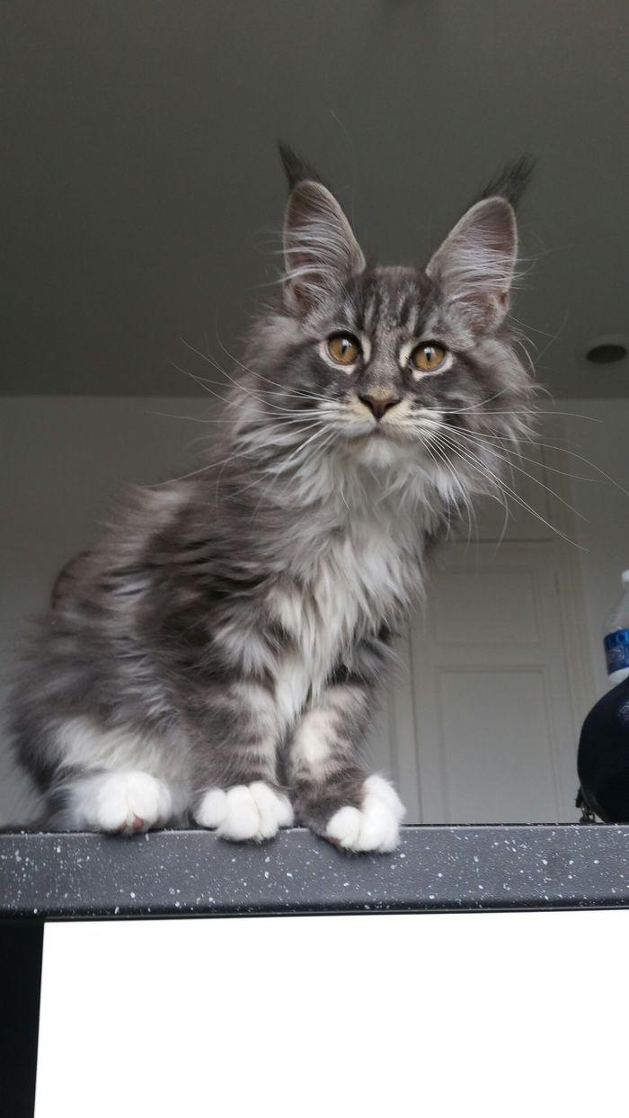 So Adorable Mainecoon Petit Felin Chats Et Chatons Chat Mignon