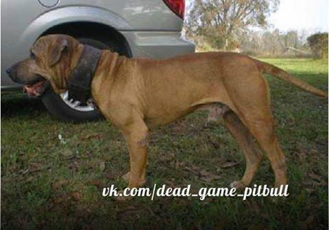 Gamedogs Pedigree Topline Kennels Barloc American Pitbull