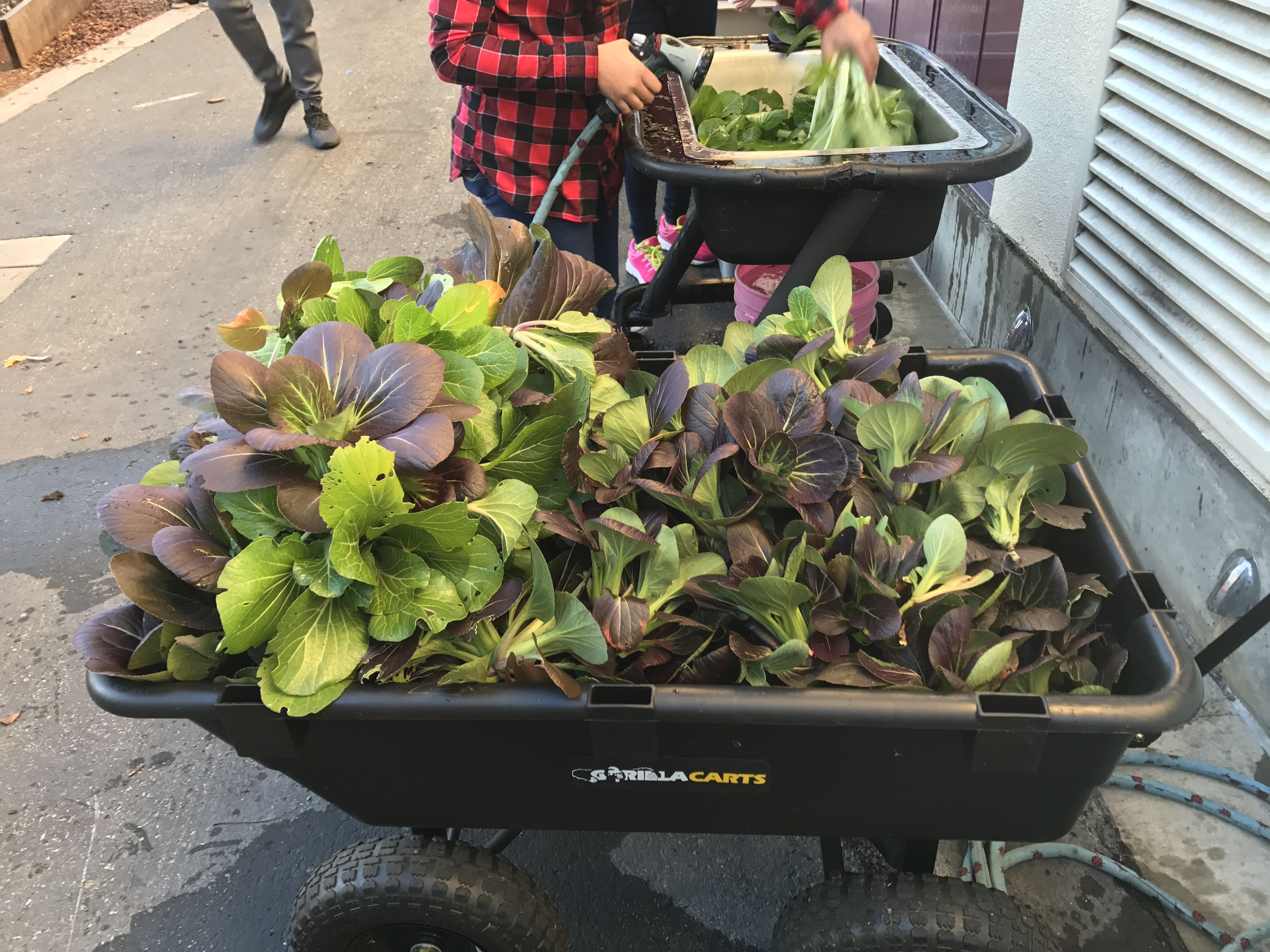 Bok choy harvest gardening for kids plants kids school