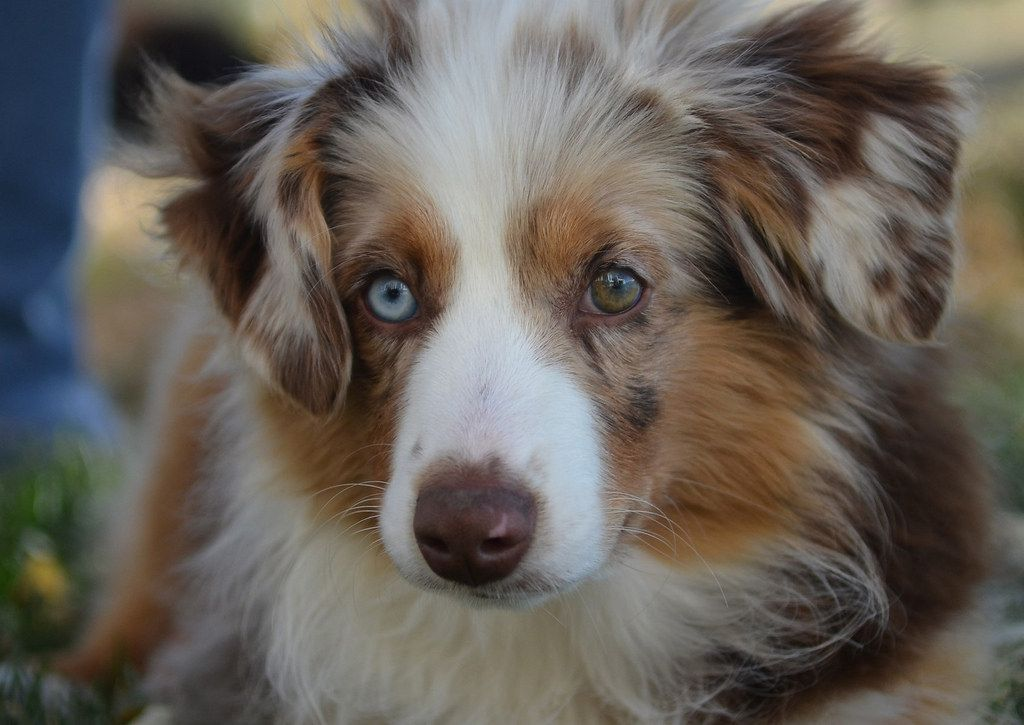 The Definitive Ranking Of Dog Breeds Dog Breeds Australian Shepherd Dog Help
