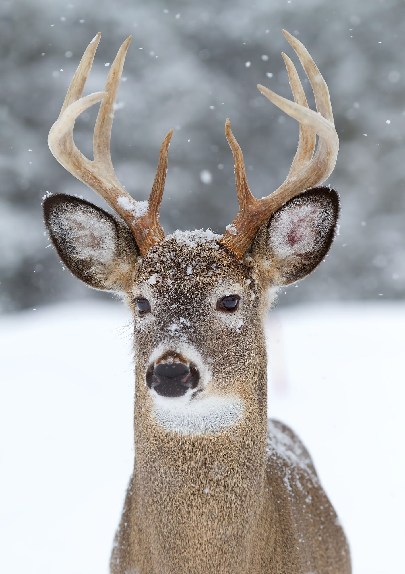 White tailed deer buck in the falling snow by Jim Cumming