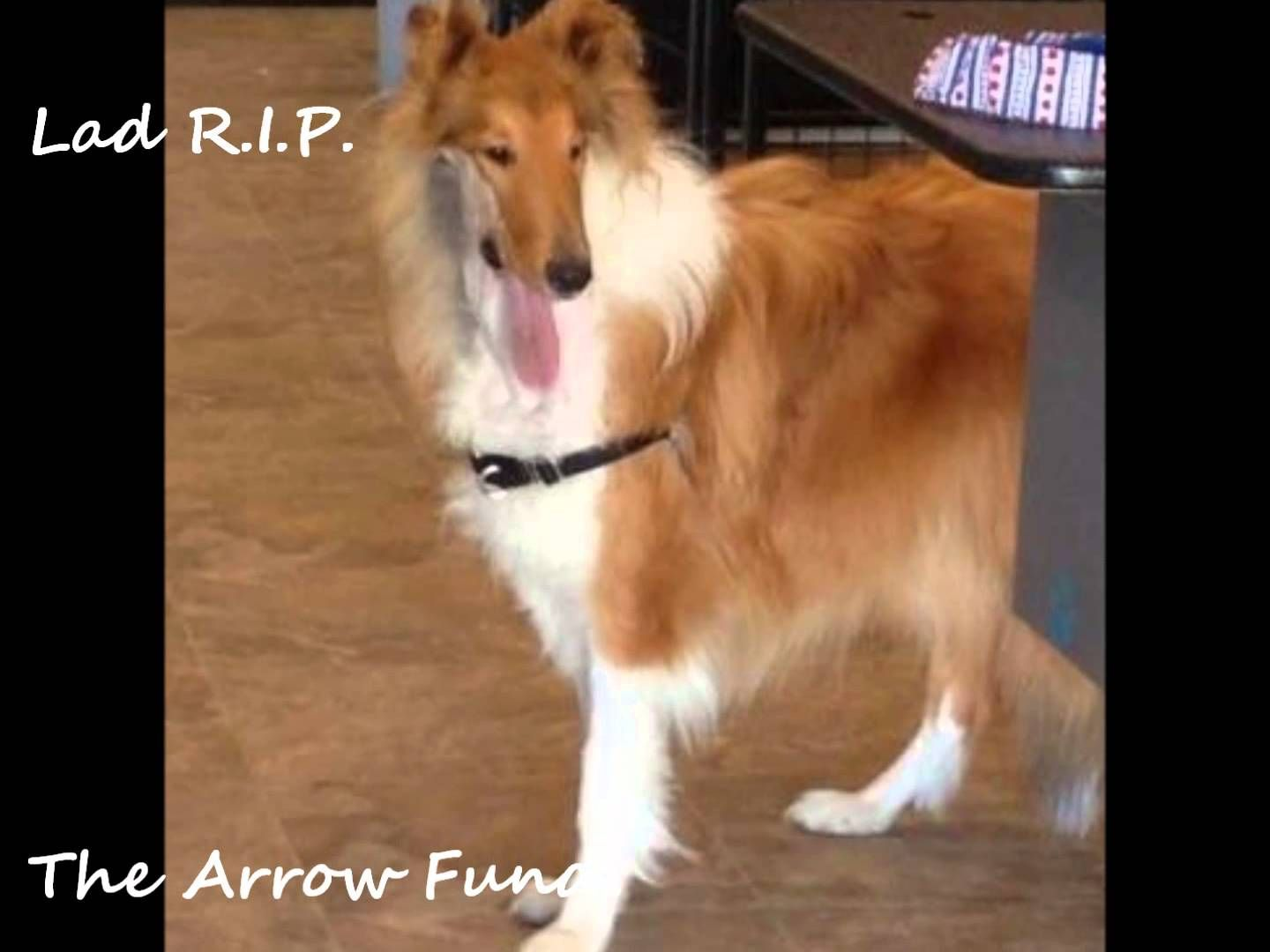 The Lad White Rose Collie Fund A Charitable Fund For Collies And